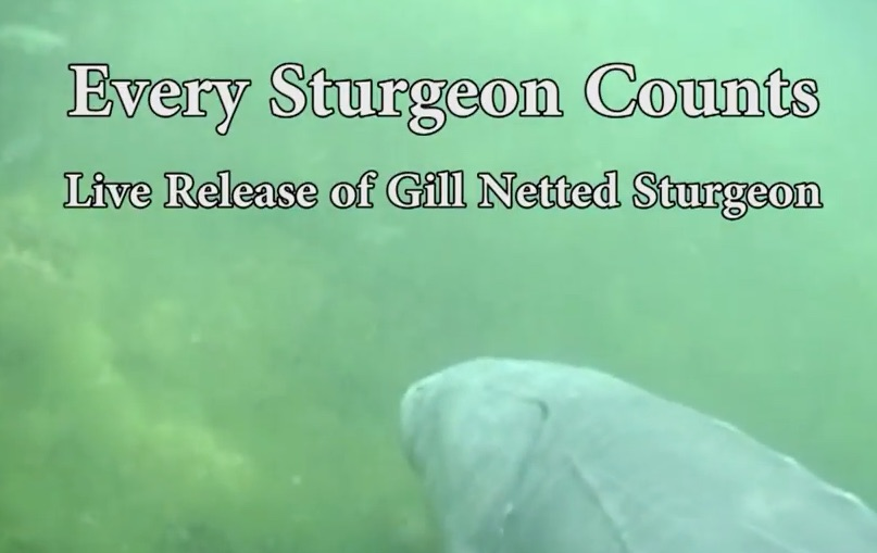 Every Sturgeon Counts Video