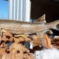 Nechako sturgeon wood carving