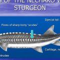 Anatomy of Sturgeon